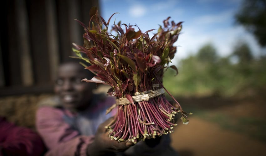 Miraa chewing can lead to heart attack, high temper – Study