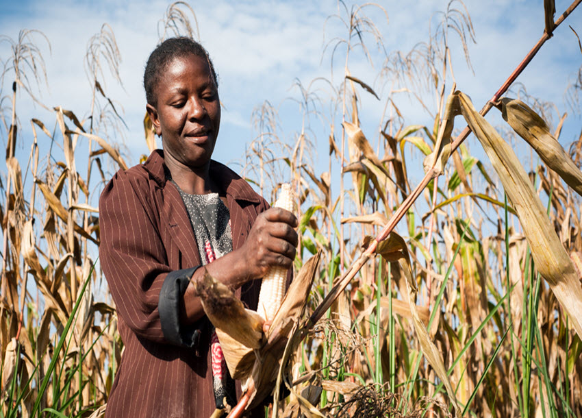Farmers decry low maize prices as brokers cash in on school fees demands