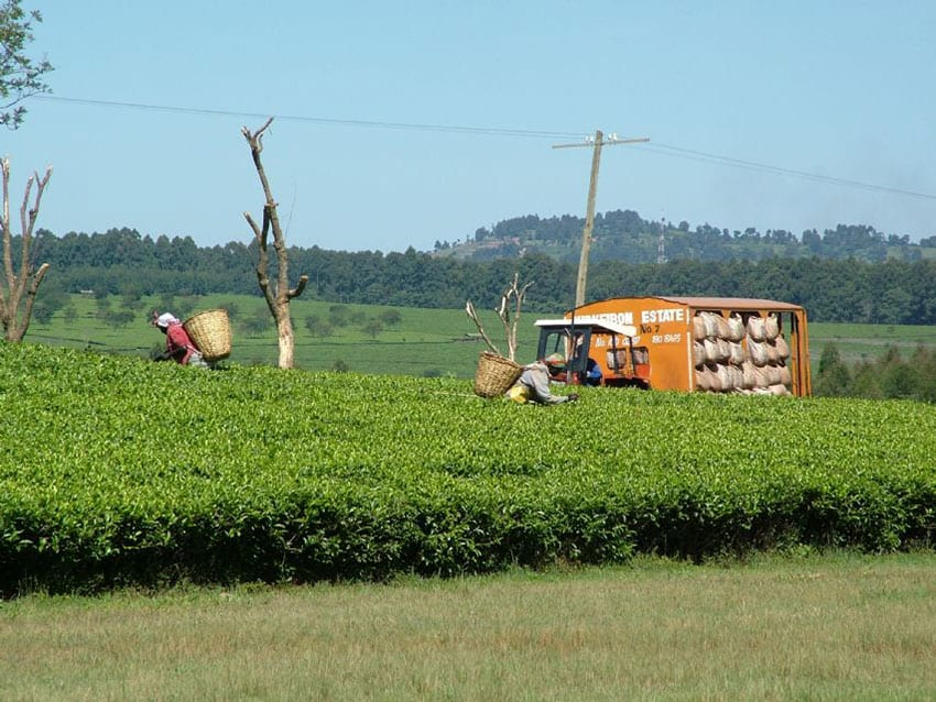 Tea farmers oppose 30% workers' pay rise