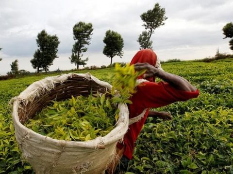 Tea farmers to gain from exports factory being set up in Limuru