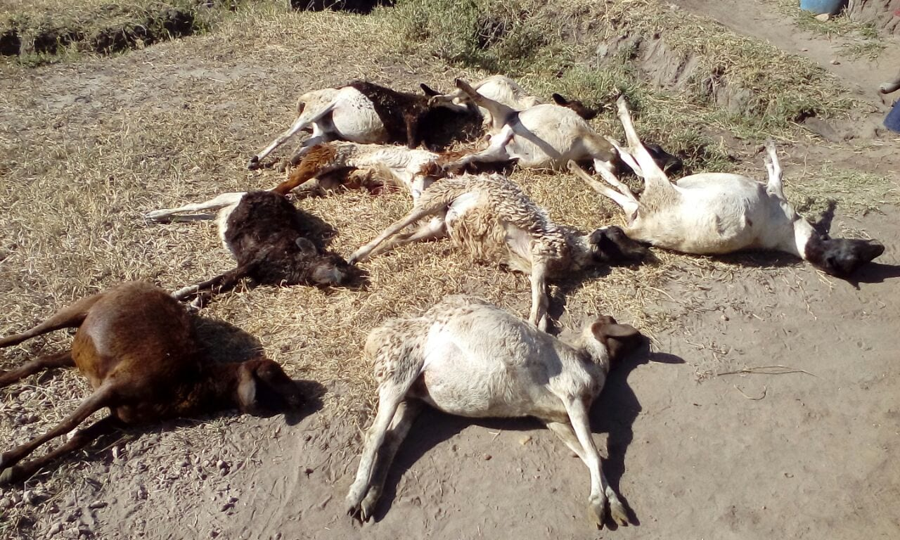 Over 20 cows, 18 sheep die in suspected dam water poisoning in Makueni