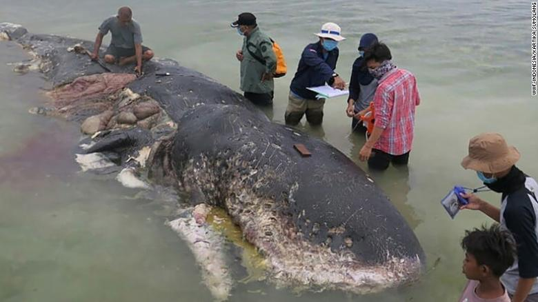 Dead whale had swallowed 1,000 pieces of plastic
