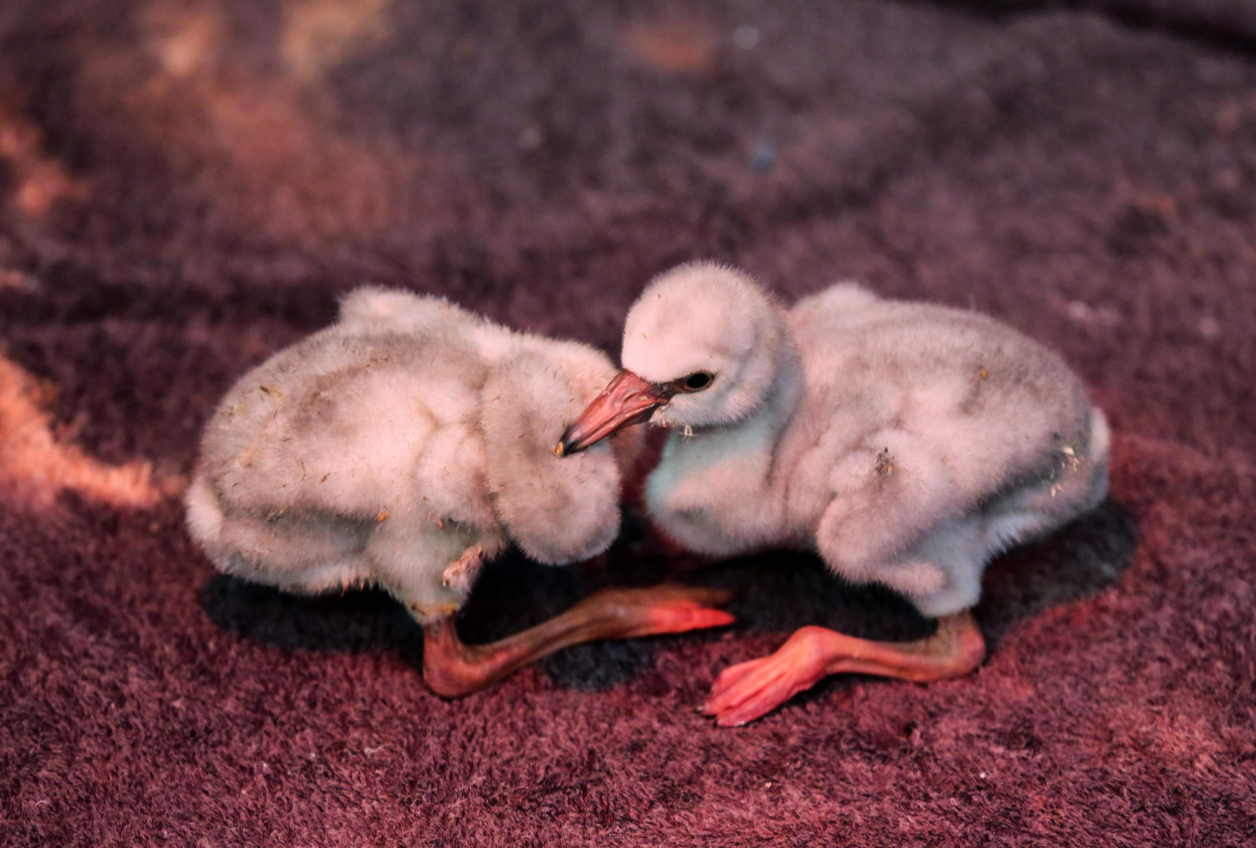 Drought threatens thousands of flamingo chicks in South Africa