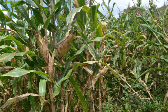 Man, 35, dies in maize plantation during drunk sex
