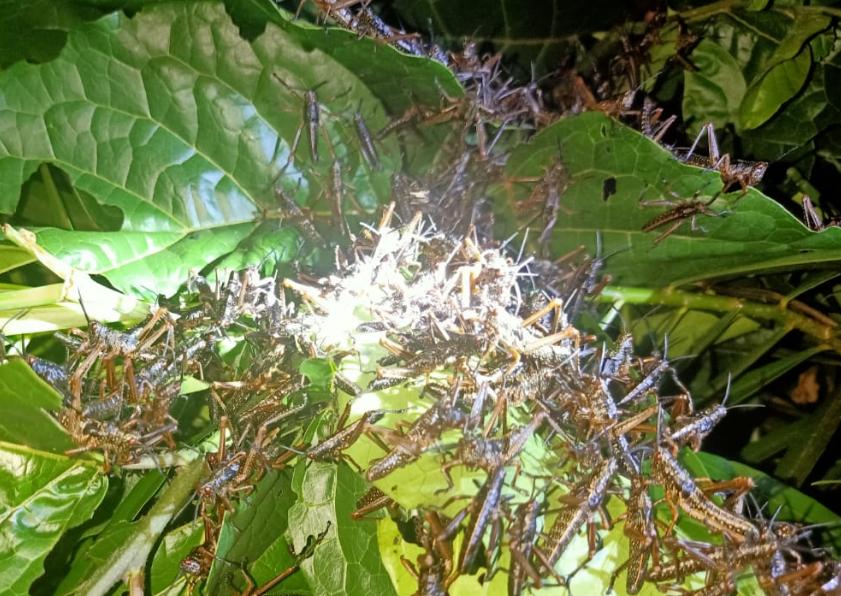 Swarm of locusts spotted in Riandira village, Mwea, Kirinyaga County. PHOTO   JOHNSON MURIITHI   CITIZEN DIGITAL