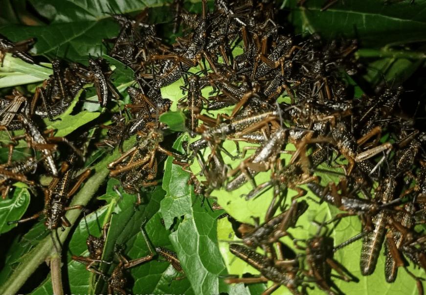 Panic in Kirinyaga as locusts spotted