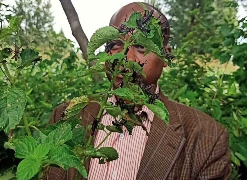 'Those are grasshoppers': Kirinyaga County Gov't rubbishes claims of locust invasion
