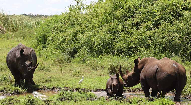 Black rhino, Akinyi, gives birth to 4th calf at Meru National Park