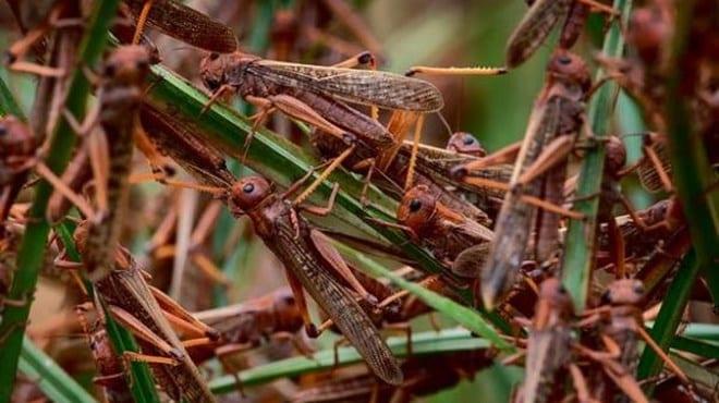 Locust swarms spotted in Marsabit as Kenya braces for havoc