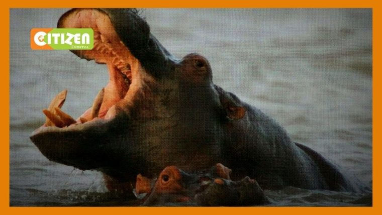 Grade 3 pupil in critical condition after hippo attack in Suba South