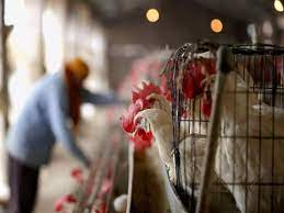 Ghana culls thousands of chickens, bans poultry movement amid avian flu outbreak