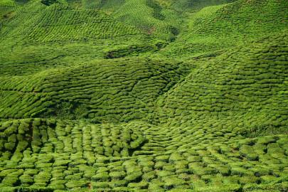 2021 tea bonus falls by Ksh.6 billion to Ksh.21.6B